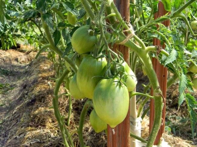 Подвязывание помидор
