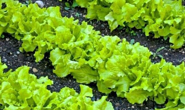 Кочанный салат - рассада