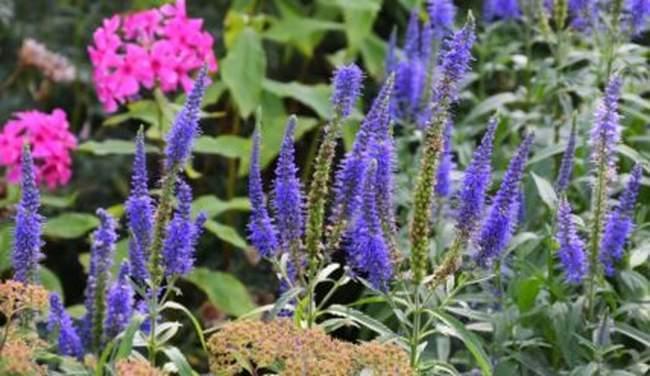 Вероника колосистая: выращивание и уход