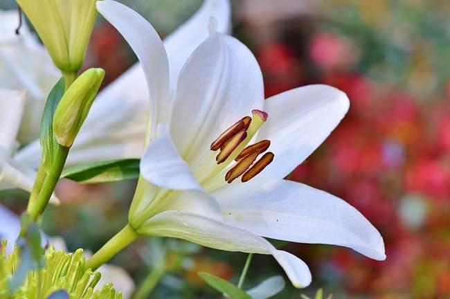 Белая лилия. Делаем сельский стиль для сада