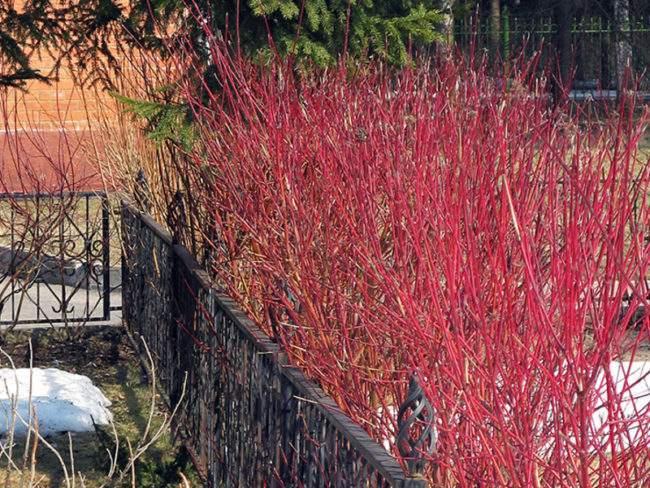 Дерен зимой в дизайне сада