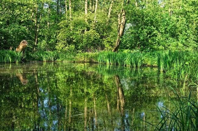 Аир болотный в пруду