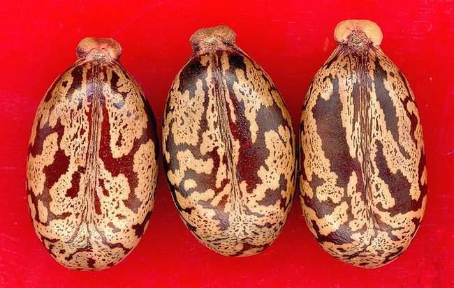 Семена клещевины