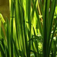 Как посадить и размножать Аир болотный