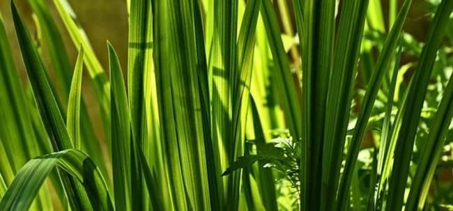Растения для водоема. Аир болотный