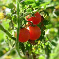 Ускоряем созревание помидоров: пасынкование, подкормка и прищипка томатов