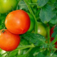 Чем подкормить томаты, как правильно поливать и подвязывать помидоры