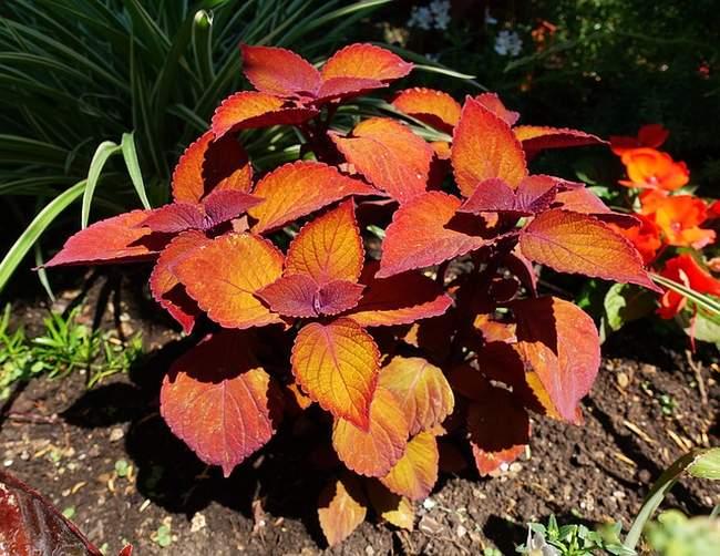 Колеус - солнцелюбивое растение