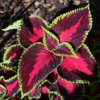 Посадка Колеуса, выращивание и уход за растением в саду