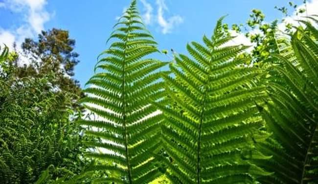 Как посадить и вырастить папоротник на даче