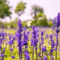 Пряные травы: Шалфей и Мята