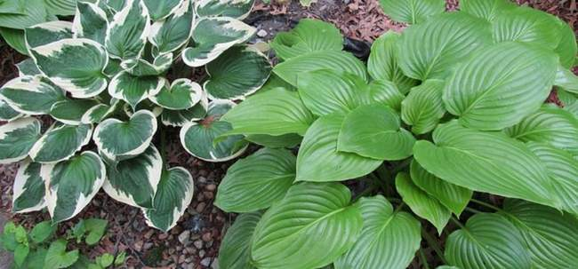 Растение Хоста. Название сортов с фото