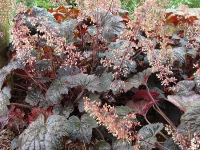 Виды гейхеры для сада: Гейхера Мелкоцветковая