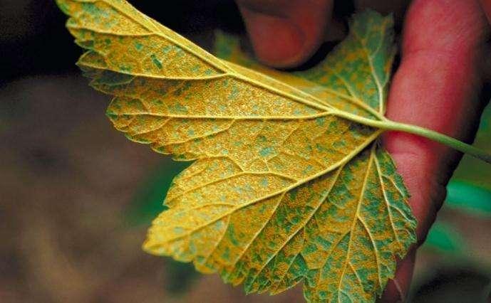 Лист смородины пораженный прожилковой мозаикой