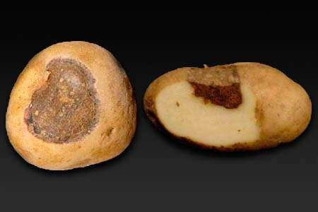 Заболевания картошки: Альтернариоз или сухая пятнистость