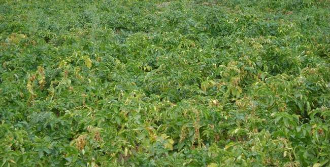 Фузариозное увядание картофеля
