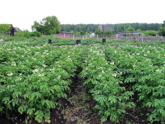 Второй этап подкормки картофеля - период бутонизации