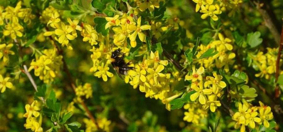 Золотая смородина: описание, сорта, выращивание и уход