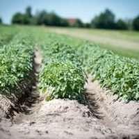 Самые эффективные способы выращивания картофеля или как увеличить урожай картофеля в 3 раза