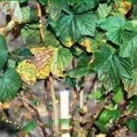 Чем обработать смородину от вредителей и болезней