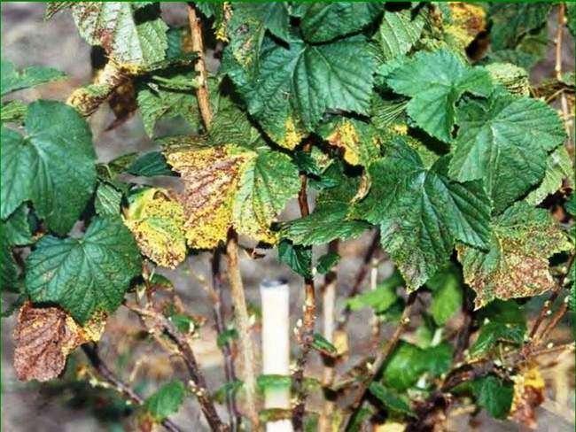 Как обработать смородину осенью от болезней и вредителей