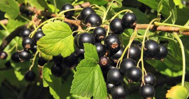 Урожай черной смородины