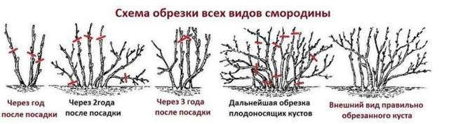Правила обрезки кустов смородины разных возрастов