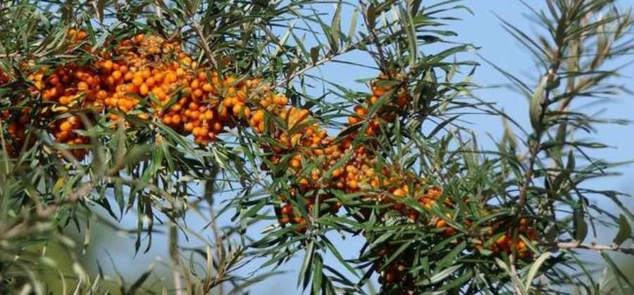 5 способов получить новое деревце облепихи для своего сада