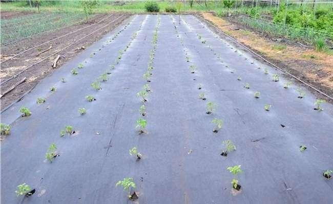 Картофель посаженный под агроволокно