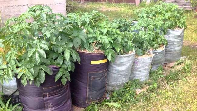 Картофель выращиваемый в мешках