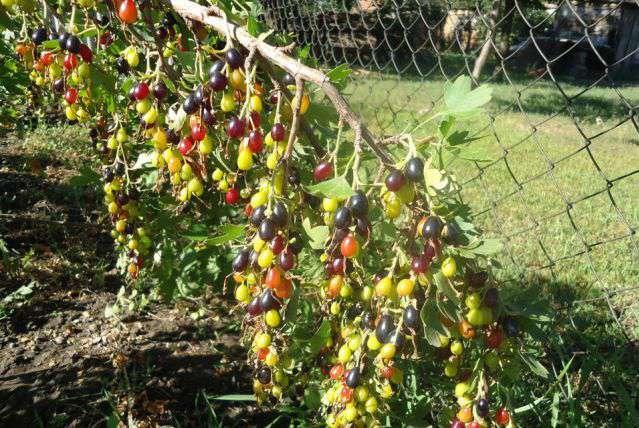 Сорт золотой смородниы - кишмишная