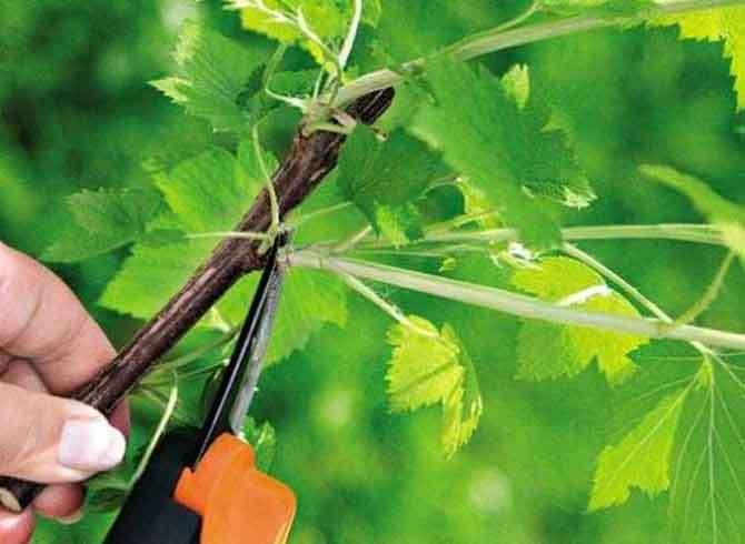 Как обрезать боковые отростки на ветках смородины