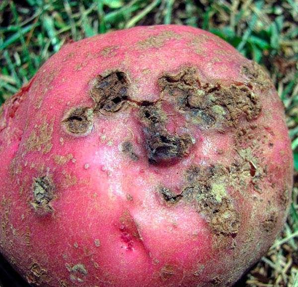 Заболевание картофеля - парша обыкновенная