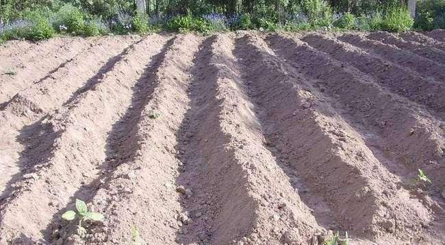 Посадка картофеля с окучиванием