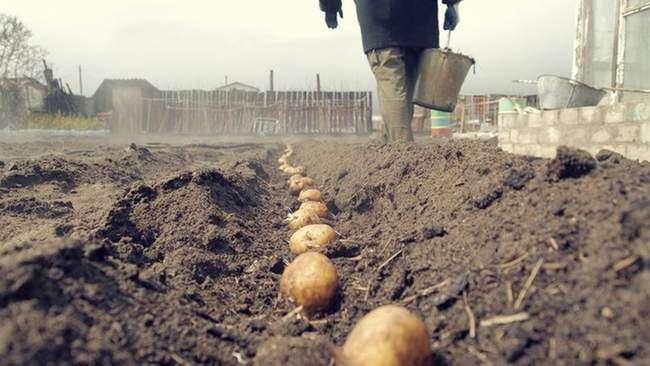 Способы посадки картошки