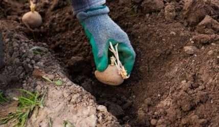 Как сажать картофель, чтобы получить здоровые всходы и богатый урожай