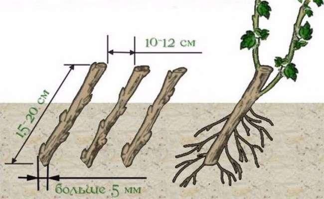 Правильная посадка черенков смородины