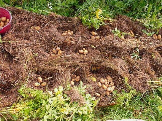 Картофель выращенный под соломой