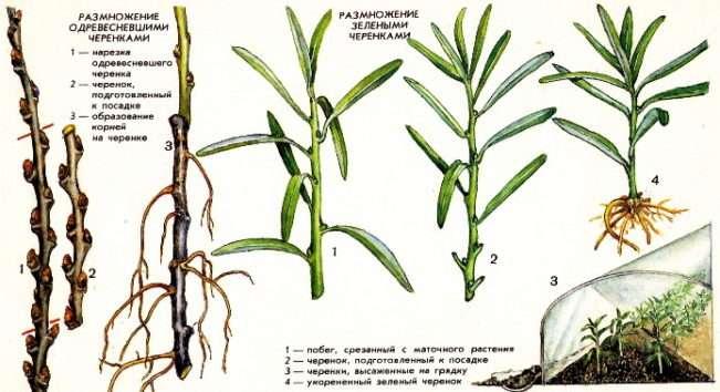 Как размножить облепиху одревесневшими и зелеными черенками