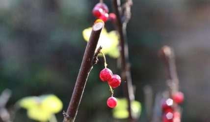 Размножение смородины черенками после плодоношения