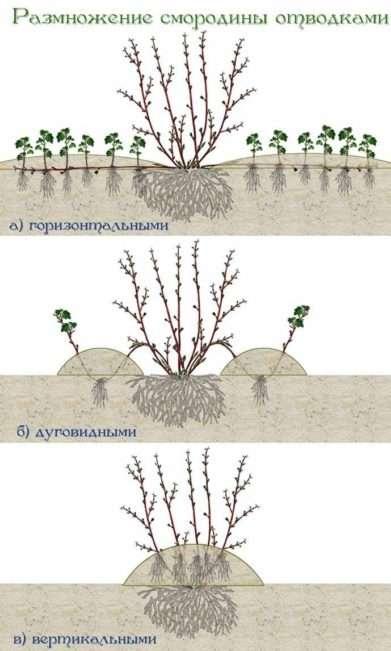 Hазмножение смородины отводками