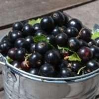 Как посадить, вырастить и ухаживать за садовой смородиной