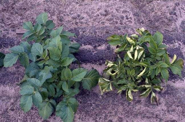 Скручивание листьев у картофеля