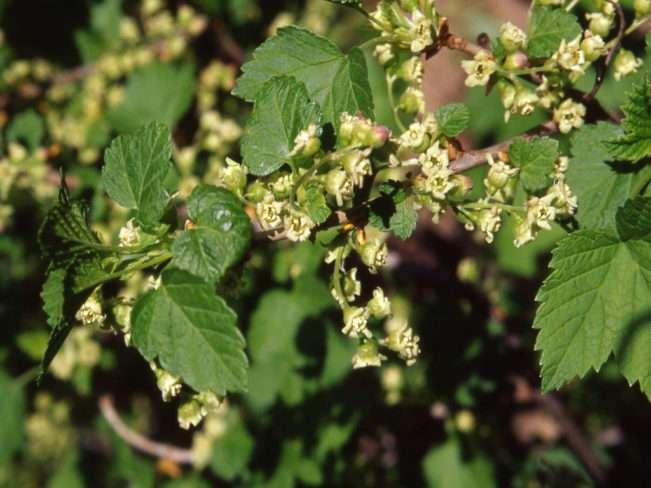 Зеленые ягоды смородины