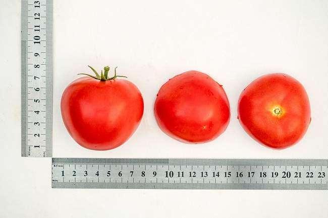 Размеры помидоров сорта Верочка