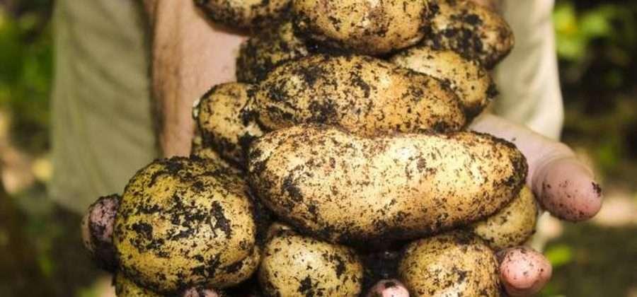 Уборка урожая картофеля: Как собрать и хранить урожай, чтобы он не сгнил