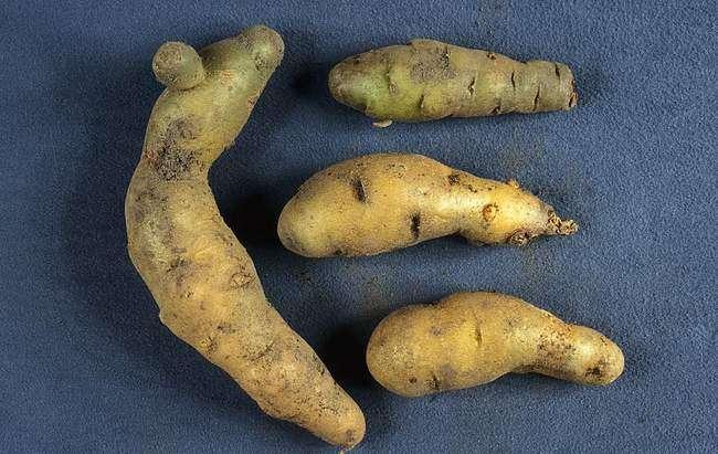 Веретеновидность клубней картофеля