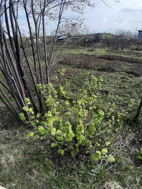 смородина садовая