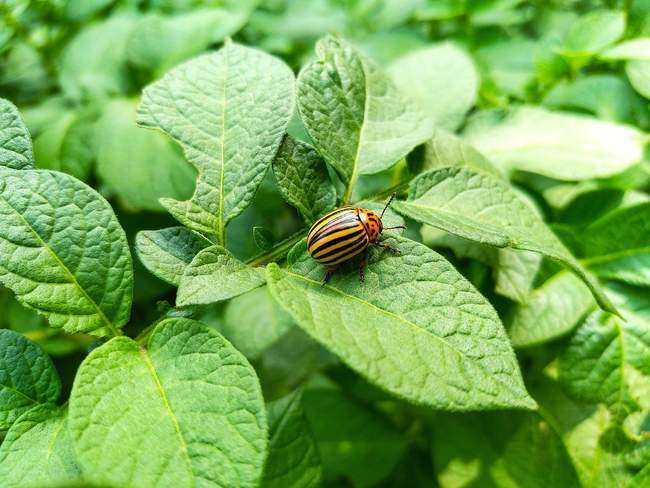 Главный вредитель картошки - колорадский жук