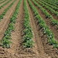 Выращивание картошки: проращивание и обработка картофеля перед посадкой, процесс посадки